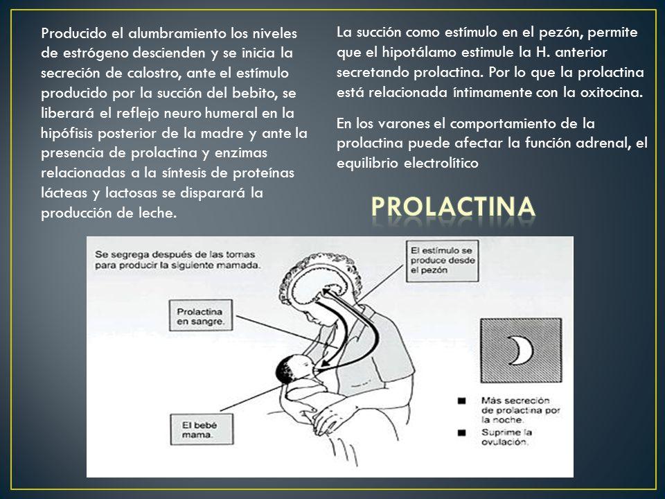 Producido el alumbramiento los niveles de estrógeno descienden y se inicia la secreción de calostro, ante el estímulo producido por la succión del beb