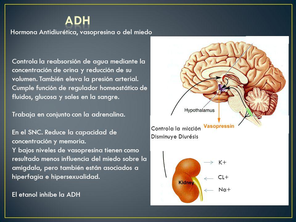 Hormona Antidiurética, vasopresina o del miedo Controla la reabsorsión de agua mediante la concentración de orina y reducción de su volumen. También e