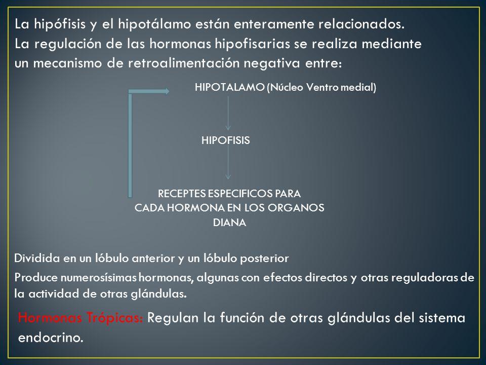 La hipófisis y el hipotálamo están enteramente relacionados. La regulación de las hormonas hipofisarias se realiza mediante un mecanismo de retroalime