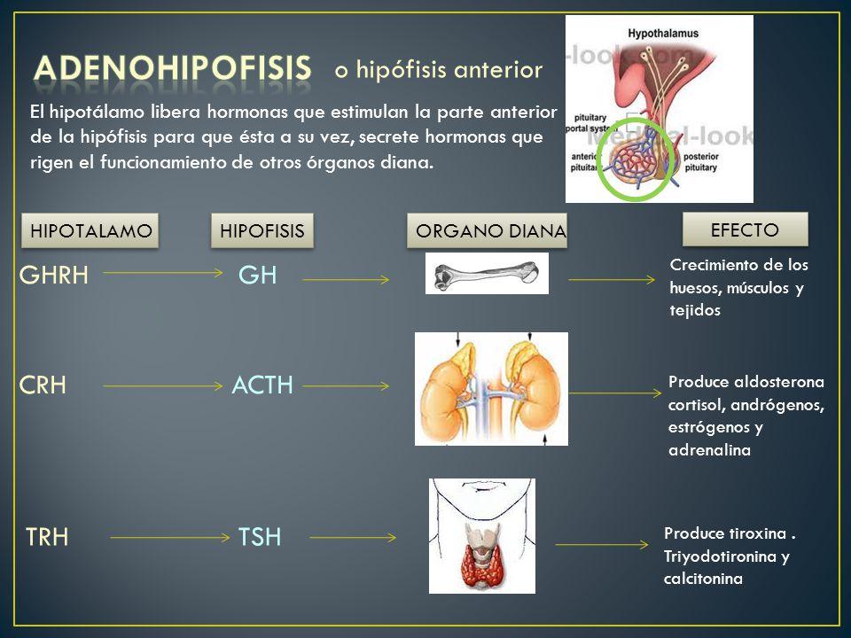 NEUROHIPOFISIS ORGANO DIANA EFECTO SNC EFECTO a nivel PERIFERICO ADH Aumenta la presión de la Sangre y favorece la Reabsorción de agua En los riñones (etanol la inhibe) Hormona antidiurética, Vasopresina U hormona del miedo OXITOCINA Contracción del útero, (orgasmo y parto) expulsión de placenta, lubrica vagina, Emisión de leche por la mama.