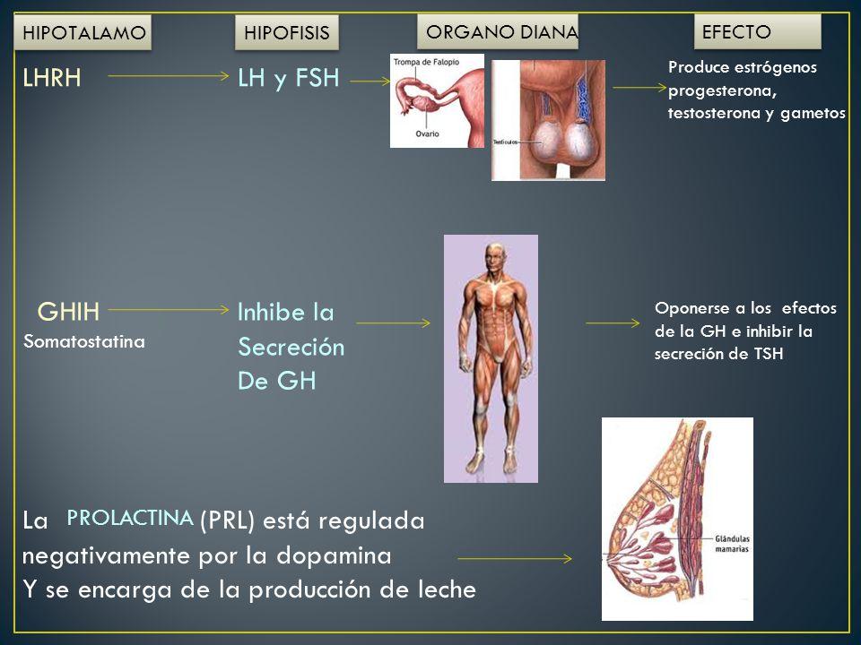 HIPOTALAMO HIPOFISIS ORGANO DIANA EFECTO LHRHLH y FSH Produce estrógenos progesterona, testosterona y gametos GHIHInhibe la Secreción De GH Oponerse a