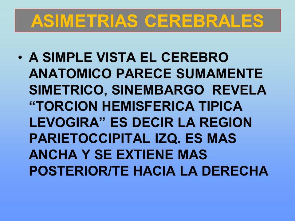 ASIMETRIAS CEREBRALES A SIMPLE VISTA EL CEREBRO ANATOMICO PARECE SUMAMENTE SIMETRICO, SINEMBARGO REVELA TORCION HEMISFERICA TIPICA LEVOGIRA ES DECIR LA REGION PARIETOCCIPITAL IZQ.