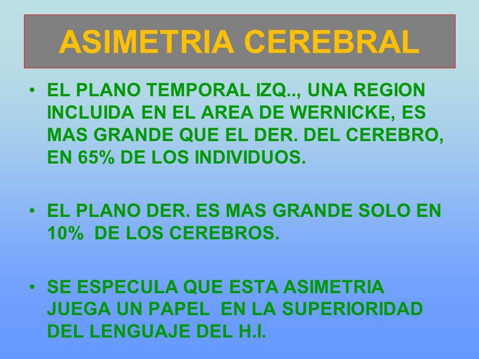 ASIMETRIA CEREBRAL EL PLANO TEMPORAL IZQ.., UNA REGION INCLUIDA EN EL AREA DE WERNICKE, ES MAS GRANDE QUE EL DER. DEL CEREBRO, EN 65% DE LOS INDIVIDUO