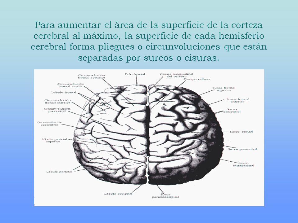 Para aumentar el área de la superficie de la corteza cerebral al máximo, la superficie de cada hemisferio cerebral forma pliegues o circunvoluciones q