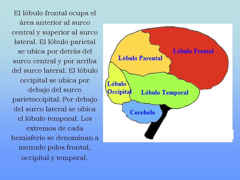 El lóbulo frontal ocupa el área anterior al surco central y superior al surco lateral. El lóbulo parietal se ubica por detrás del surco central y por