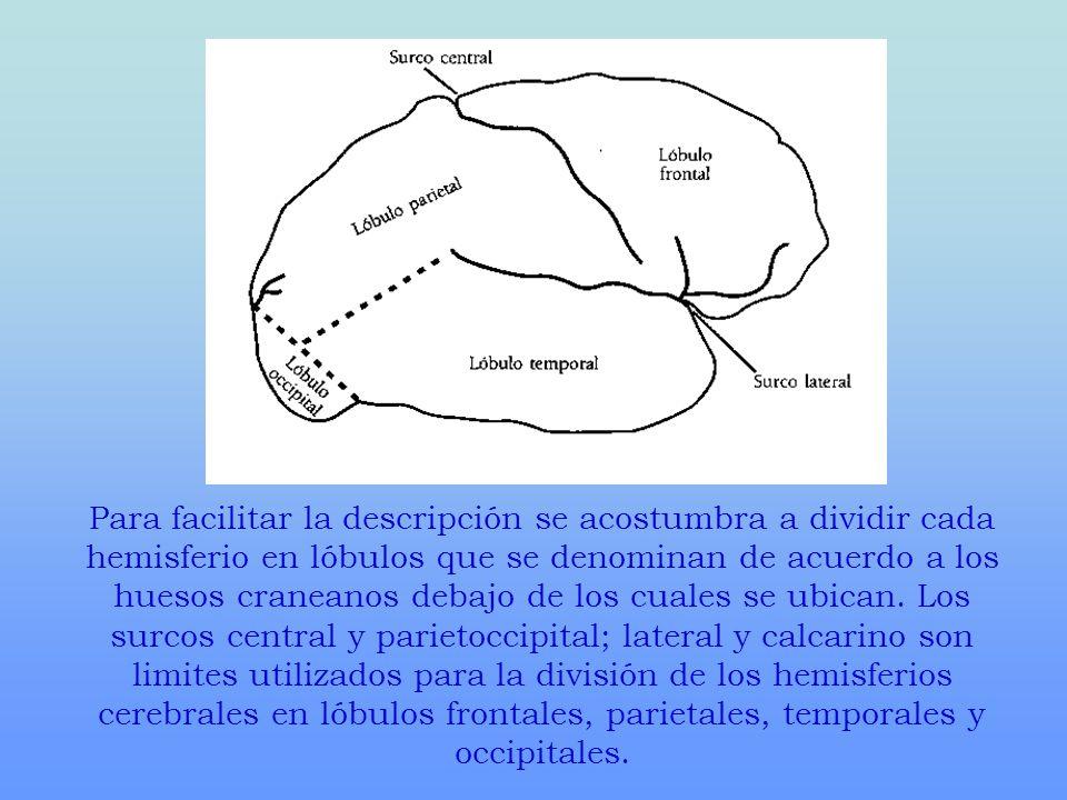 Para facilitar la descripción se acostumbra a dividir cada hemisferio en lóbulos que se denominan de acuerdo a los huesos craneanos debajo de los cual