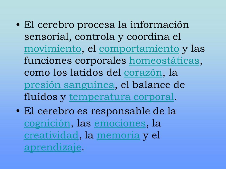 El cerebro procesa la información sensorial, controla y coordina el movimiento, el comportamiento y las funciones corporales homeostáticas, como los l
