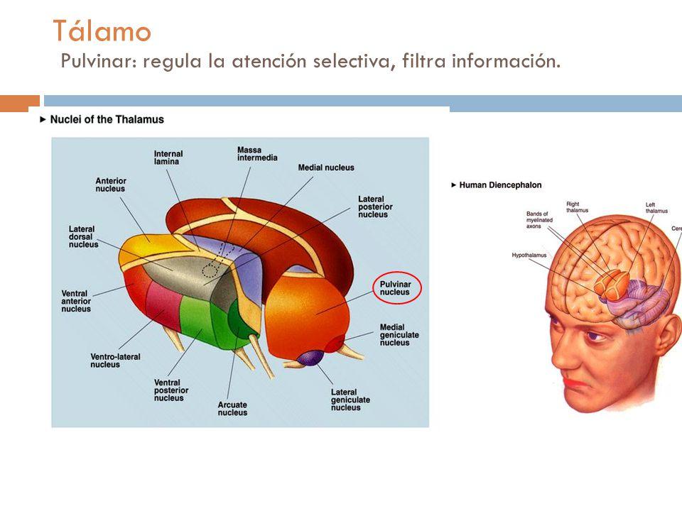 Tálamo Pulvinar: regula la atención selectiva, filtra información.