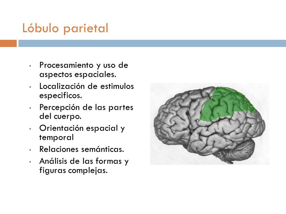 Lóbulo parietal Procesamiento y uso de aspectos espaciales.
