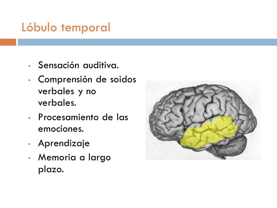 Lóbulo temporal Sensación auditiva.Comprensión de soidos verbales y no verbales.