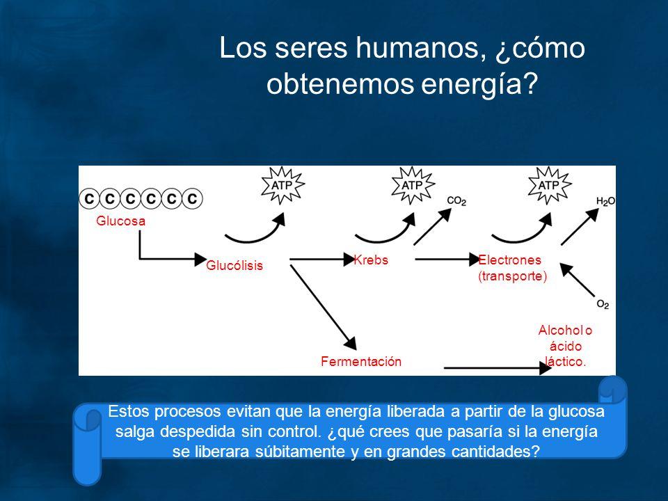 Los seres humanos, ¿cómo obtenemos energía? Glucosa Glucólisis KrebsElectrones (transporte) Fermentación Alcohol o ácido láctico. Estos procesos evita