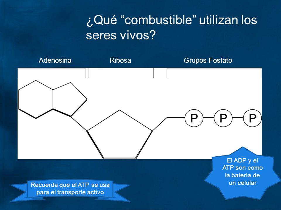 ¿Qué combustible utilizan los seres vivos? AdenosinaRibosaGrupos Fosfato Recuerda que el ATP se usa para el transporte activo El ADP y el ATP son como