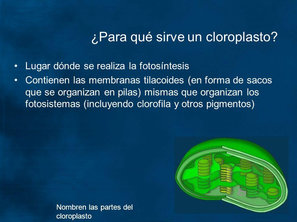 ¿Para qué sirve un cloroplasto? Lugar dónde se realiza la fotosíntesis Contienen las membranas tilacoides (en forma de sacos que se organizan en pilas