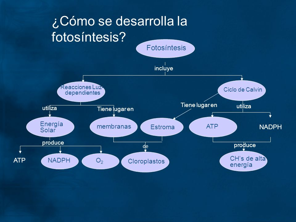 ¿Cómo se desarrolla la fotosíntesis? Fotosíntesis incluye de Tiene lugar en utiliza produce utiliza Reacciones Luz- dependientes Ciclo de Calvin membr