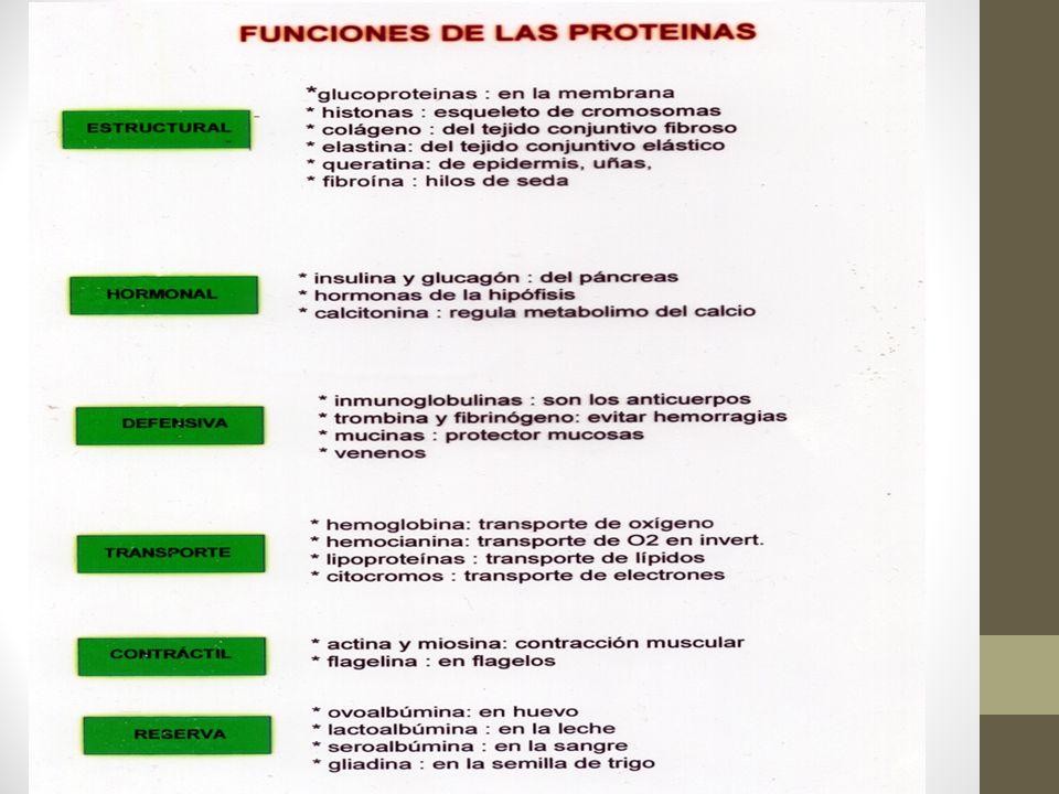PROTEÍNA Las moléculas más abundantes y diversas encontradas en las células vivas son las proteínas.