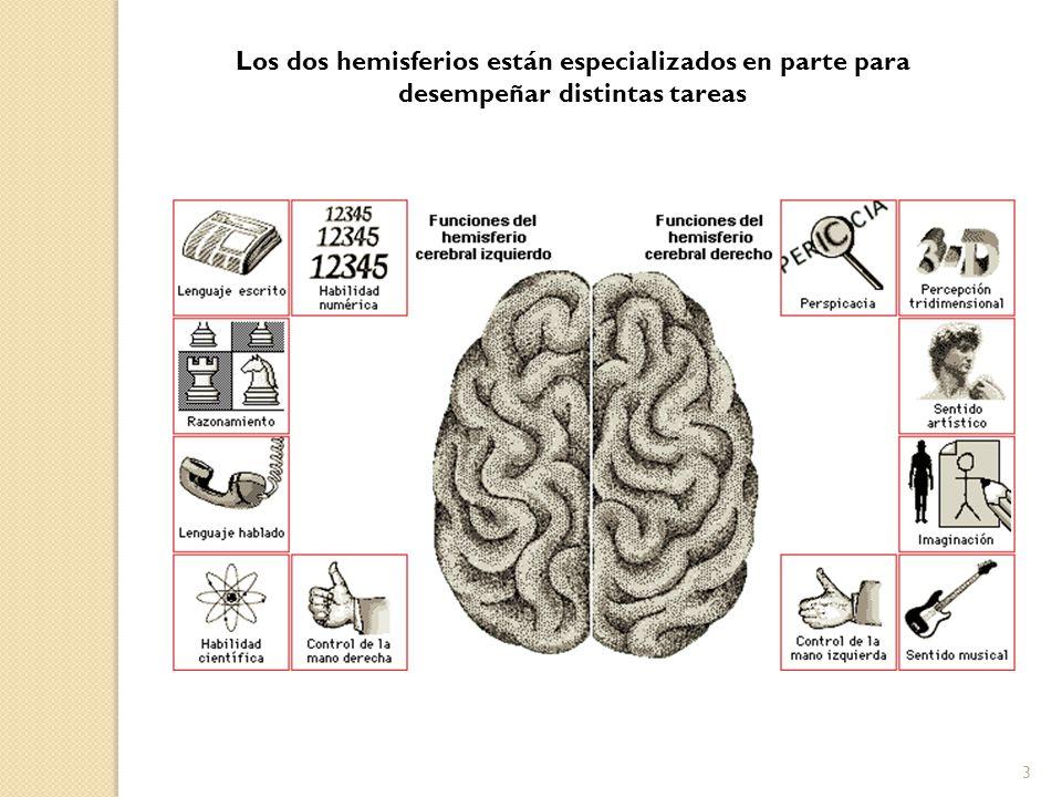 4 La gran mayoría de las personas diestras (96%), las funciones del lenguaje se localizan fundamentalmente en el hemisferio izquierdo.
