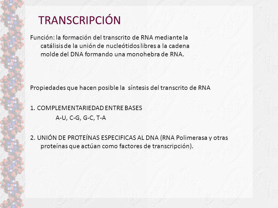 TRANSCRIPCIÓN Función: la formación del transcrito de RNA mediante la catálisis de la unión de nucleótidos libres a la cadena molde del DNA formando u