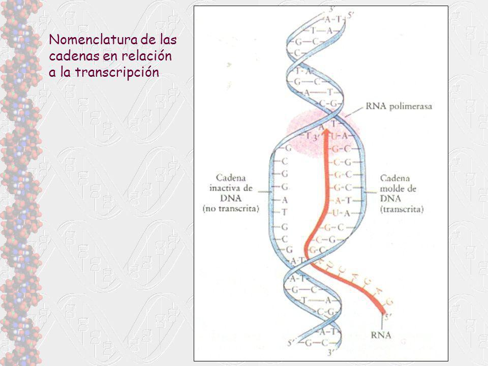 Nomenclatura de las cadenas en relación a la transcripción