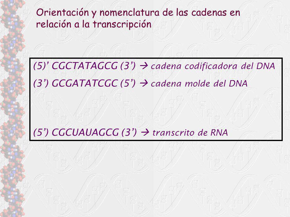 (5) CGCTATAGCG (3) cadena codificadora del DNA (3) GCGATATCGC (5) cadena molde del DNA (5) CGCUAUAGCG (3) transcrito de RNA Orientación y nomenclatura