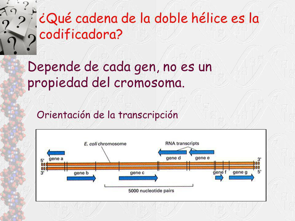 Depende de cada gen, no es un propiedad del cromosoma. ¿Qué cadena de la doble hélice es la codificadora? Orientación de la transcripción