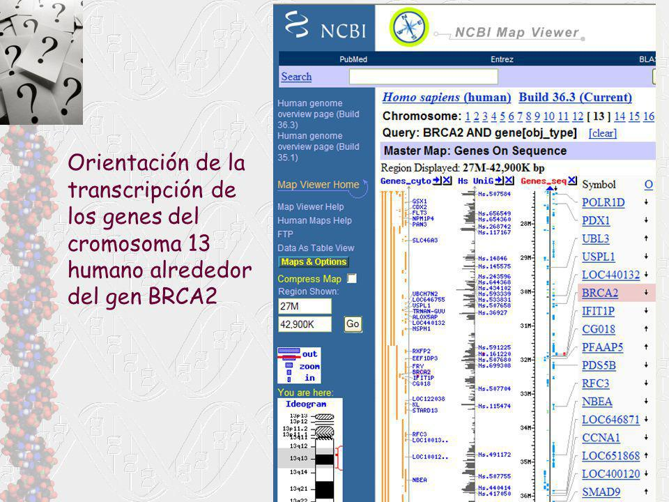 Orientación de la transcripción de los genes del cromosoma 13 humano alrededor del gen BRCA2