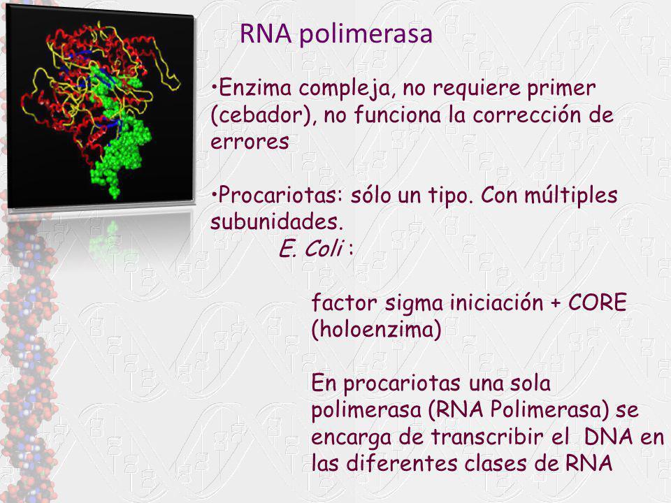 RNA polimerasa Enzima compleja, no requiere primer (cebador), no funciona la corrección de errores Procariotas: sólo un tipo. Con múltiples subunidade