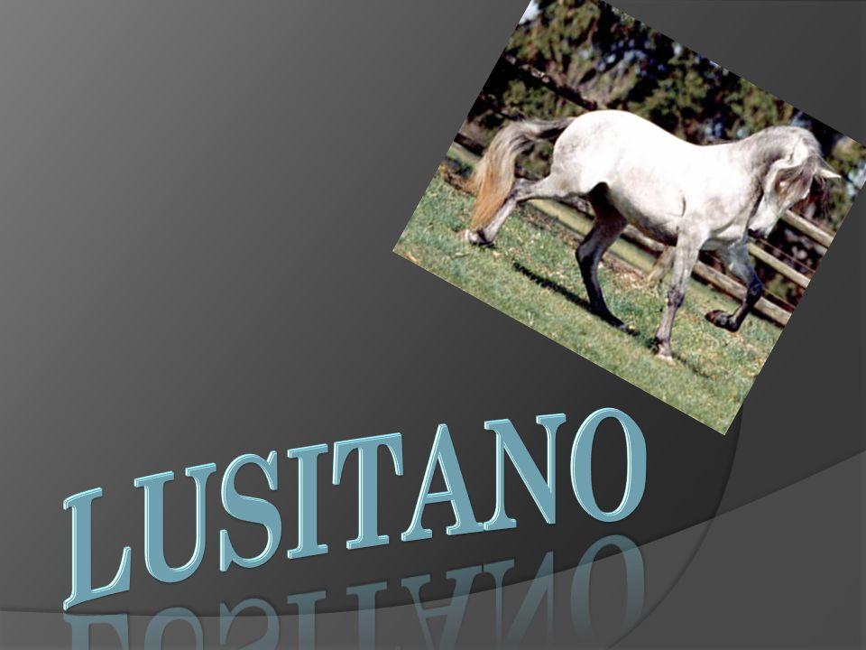 LUSITANO El caballo lusitano es una raza equina de origen portugués cuyo nombre deriva de Lusitana.