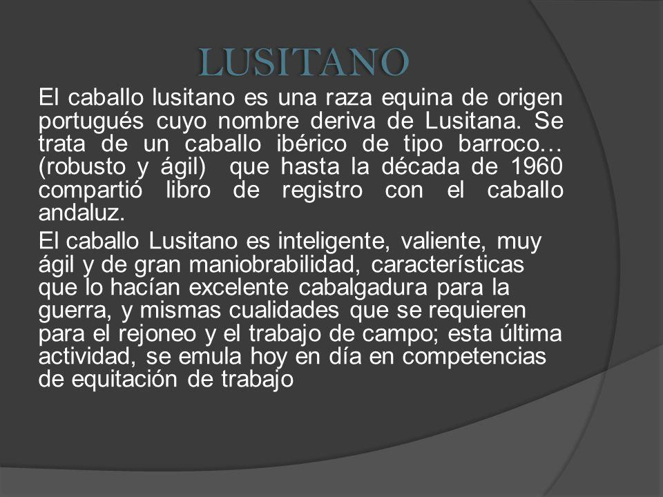 LUSITANO El caballo lusitano es una raza equina de origen portugués cuyo nombre deriva de Lusitana. Se trata de un caballo ibérico de tipo barroco… (r