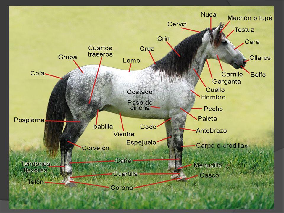 EXTREMIDADES : Son tremendamente largas, tanto los antebrazos como las cañas, igual sucede en las posteriores.