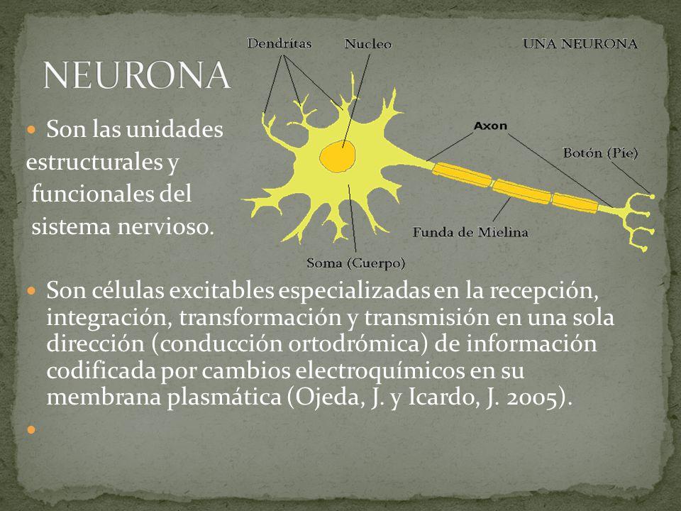 Son las unidades estructurales y funcionales del sistema nervioso.