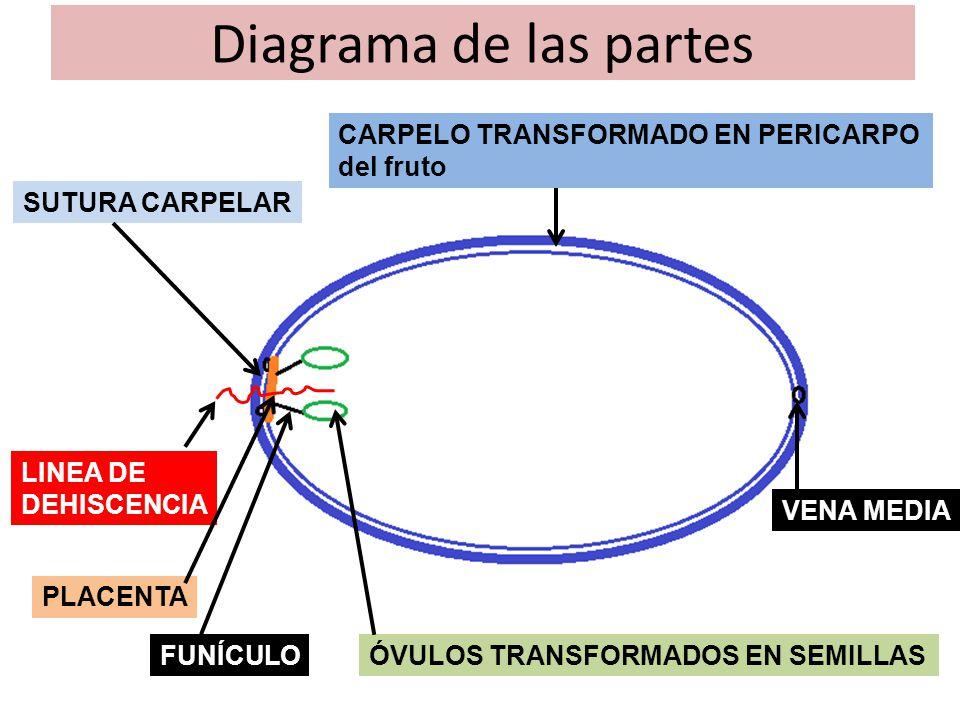 Corte transversal de un fruto unicarpelar DEHISCENCIA SUTURAL SIMPLE DEHISCENCIA SUTURAL DOBLE