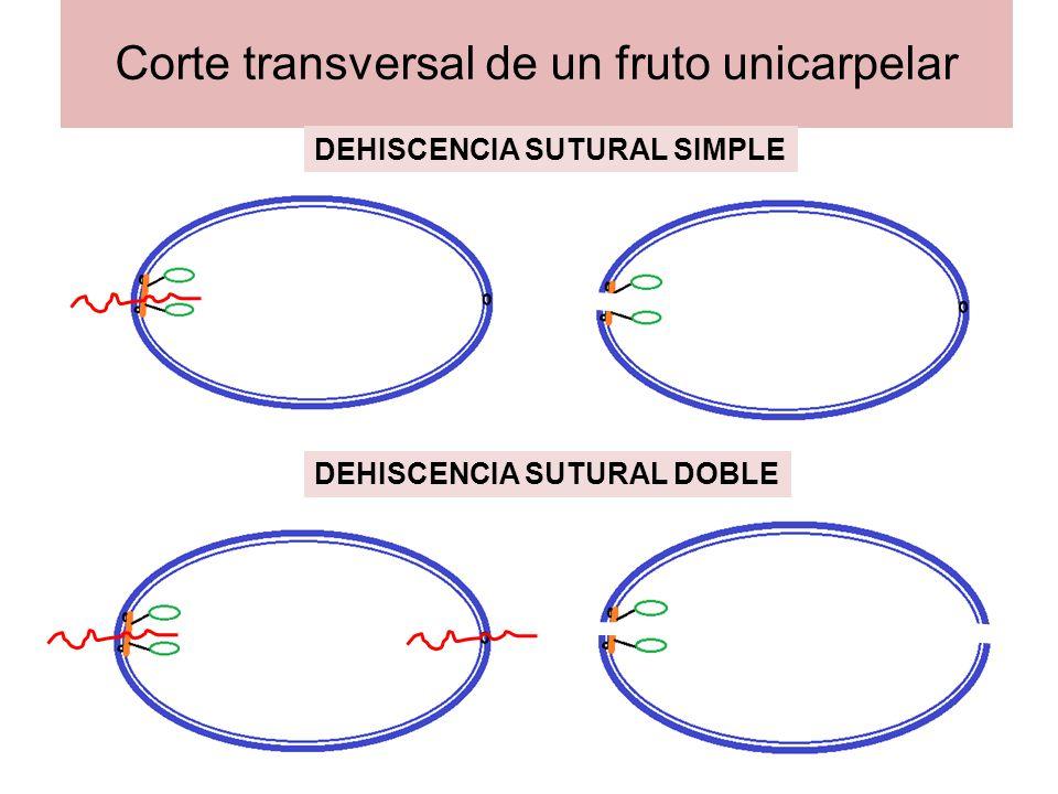 Corte transversal de un fruto bicarpelar con replum, replo o falso tabique DEHISCENCIA PLACENTIFRAGA
