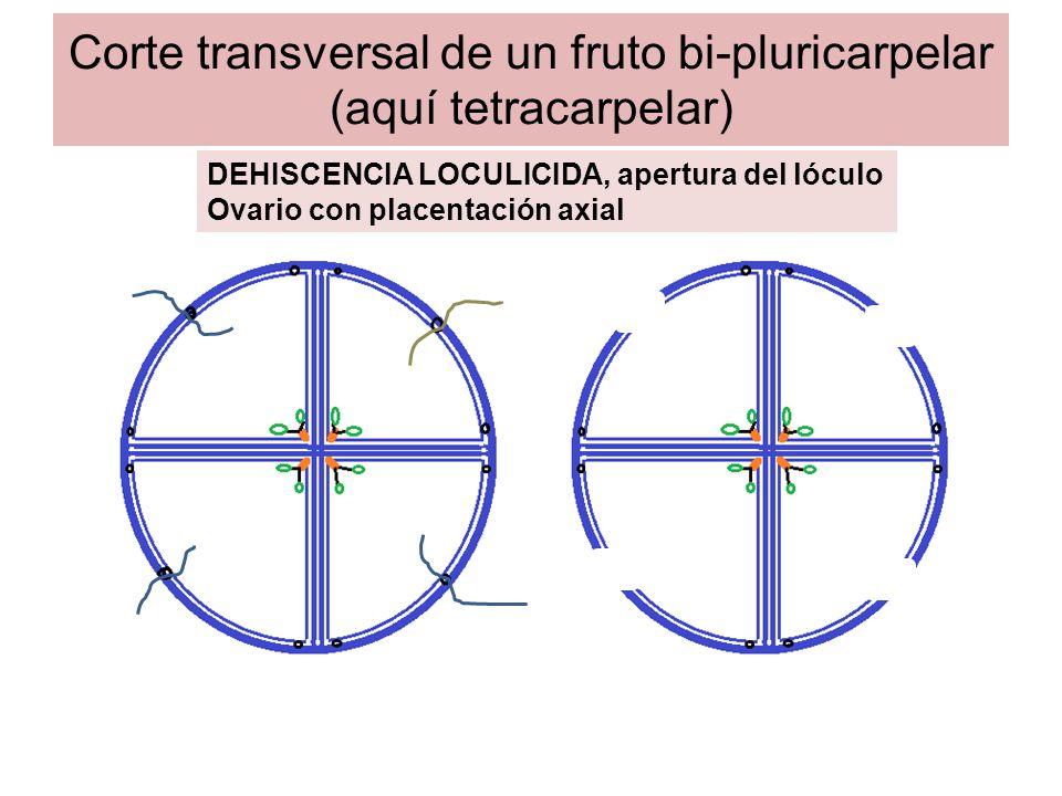 Corte transversal de un fruto bi-pluricarpelar (aquí tetracarpelar) DEHISCENCIA LOCULICIDA,, apertura del lóculo Ovario con placentación parietal