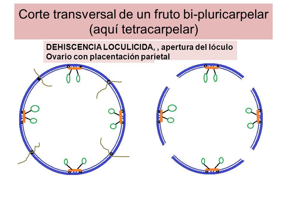 Corte transversal de un fruto bi-pluricarpelar (aquí tetracarpelar) DEHISCENCIA SEPTICIDA, separación de los septos