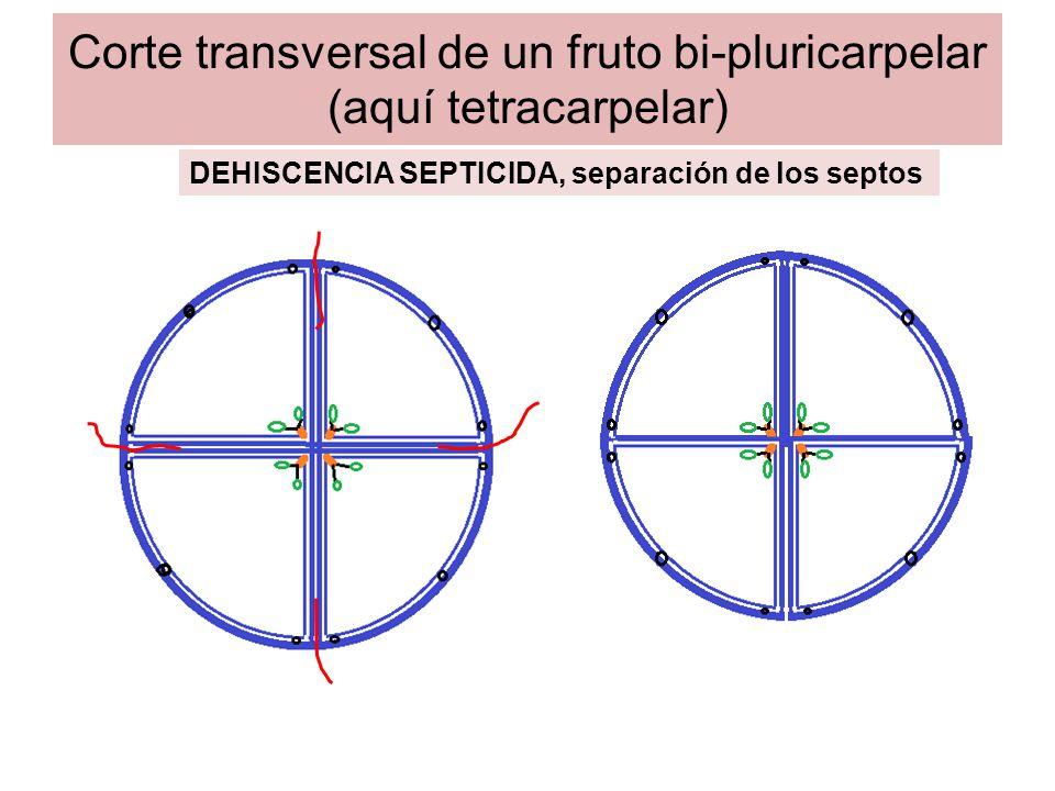 Corte transversal de un fruto bi-pluricarpelar (aquí tetracarpelar) DEHISCENCIA SEPTIFRAGA, dehiscencia transversal de los septos