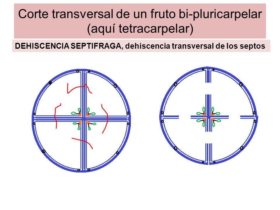 Corte transversal de un fruto bi-pluricarpelar (aquí tetracarpelar) DEHISCENCIA SEPTIFRAGA-LOCULICIDA
