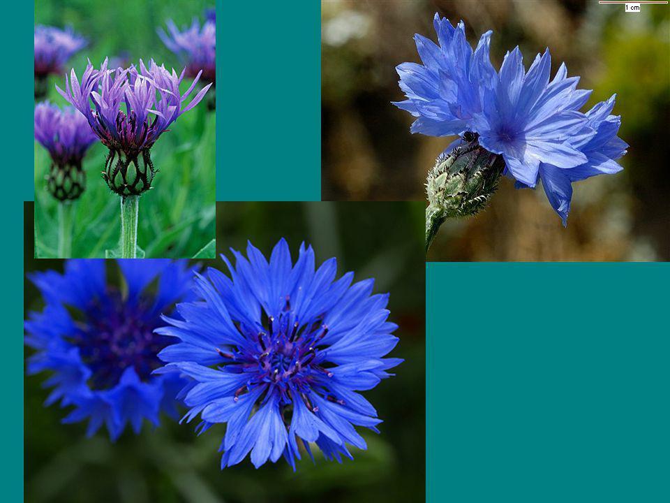 Otras flores muy bonitas son las centaureas o azulinas.