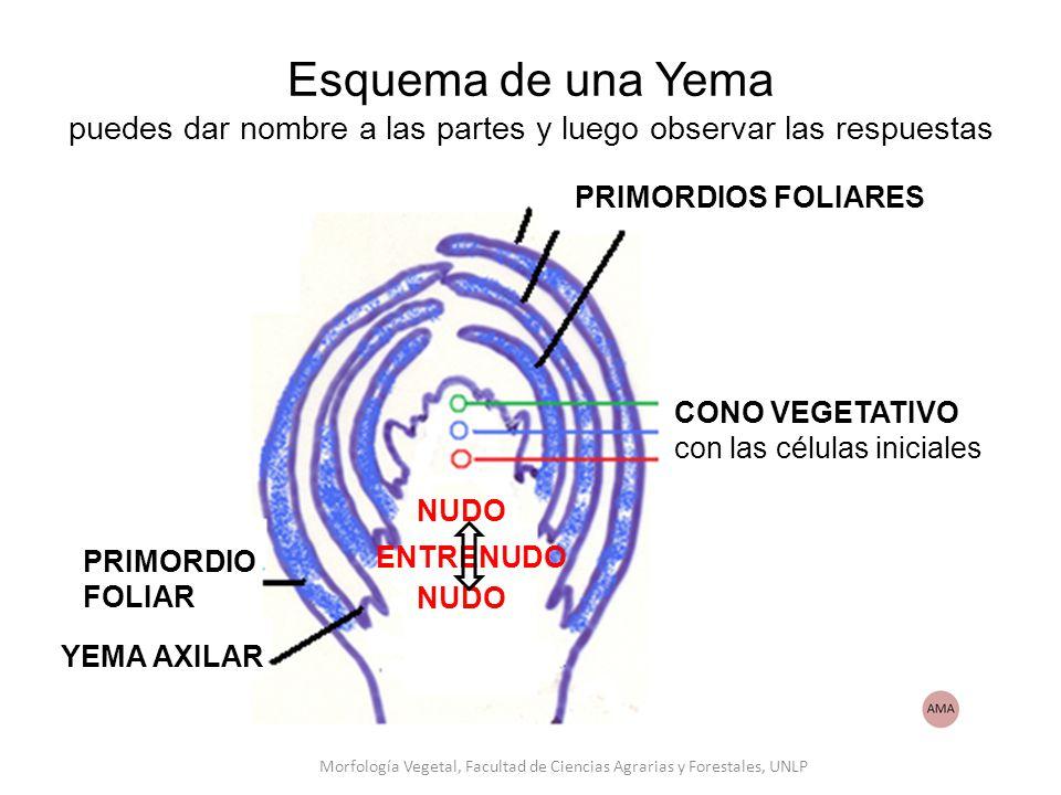 Esquema de una Yema puedes dar nombre a las partes y luego observar las respuestas PRIMORDIOS FOLIARES PRIMORDIO FOLIAR YEMA AXILAR ENTRENUDO NUDO CONO VEGETATIVO con las células iniciales Morfología Vegetal, Facultad de Ciencias Agrarias y Forestales, UNLP