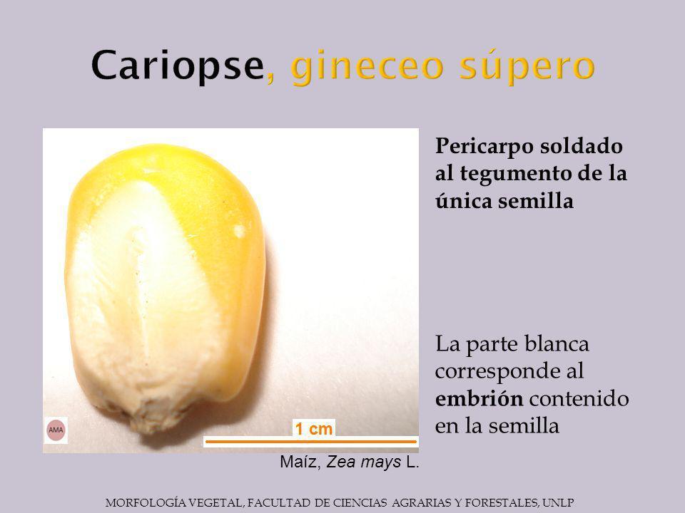 La parte blanca corresponde al embrión contenido en la semilla Pericarpo soldado al tegumento de la única semilla Maíz, Zea mays L.