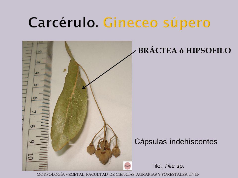 BRÁCTEA ó HIPSOFILO Cápsulas indehiscentes Tilo, Tilia sp.