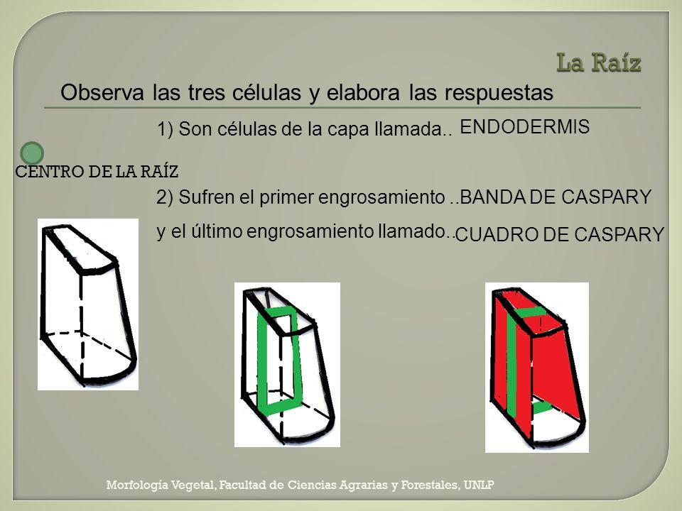 Morfología Vegetal, Facultad de Ciencias Agrarias y Forestales, UNLP Observa las tres células y elabora las respuestas 1) Son células de la capa llama