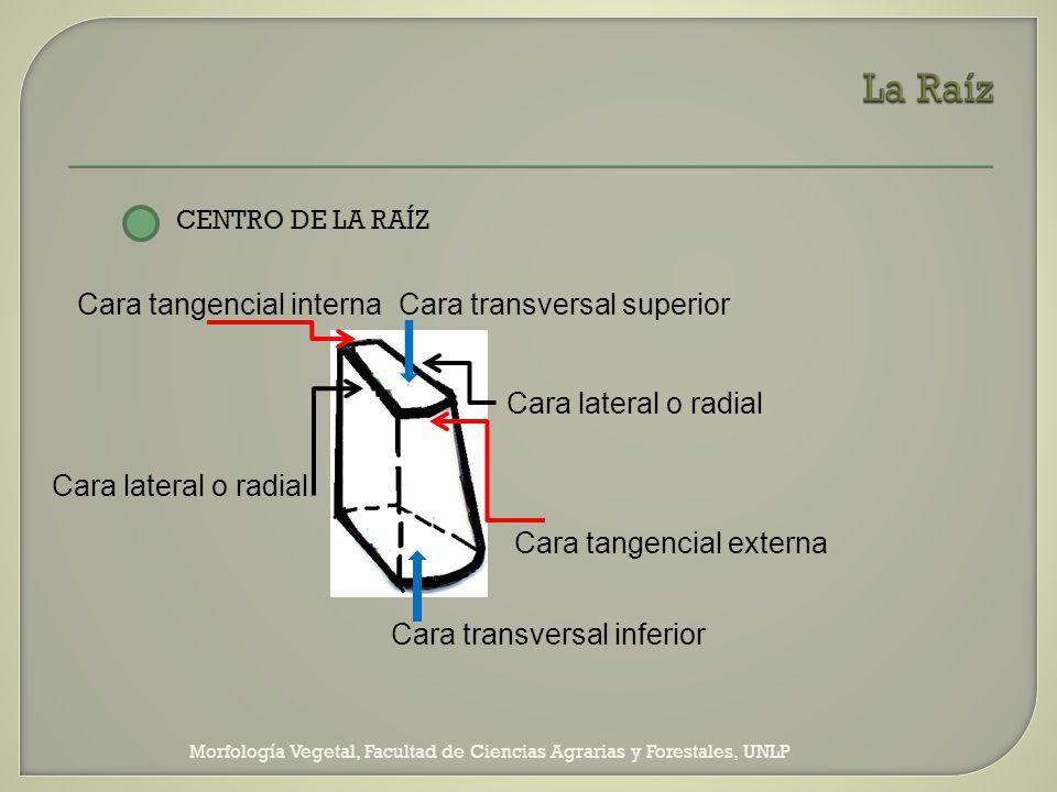 Morfología Vegetal, Facultad de Ciencias Agrarias y Forestales, UNLP CENTRO DE LA RAÍZ Cara tangencial interna Cara lateral o radial Cara tangencial e