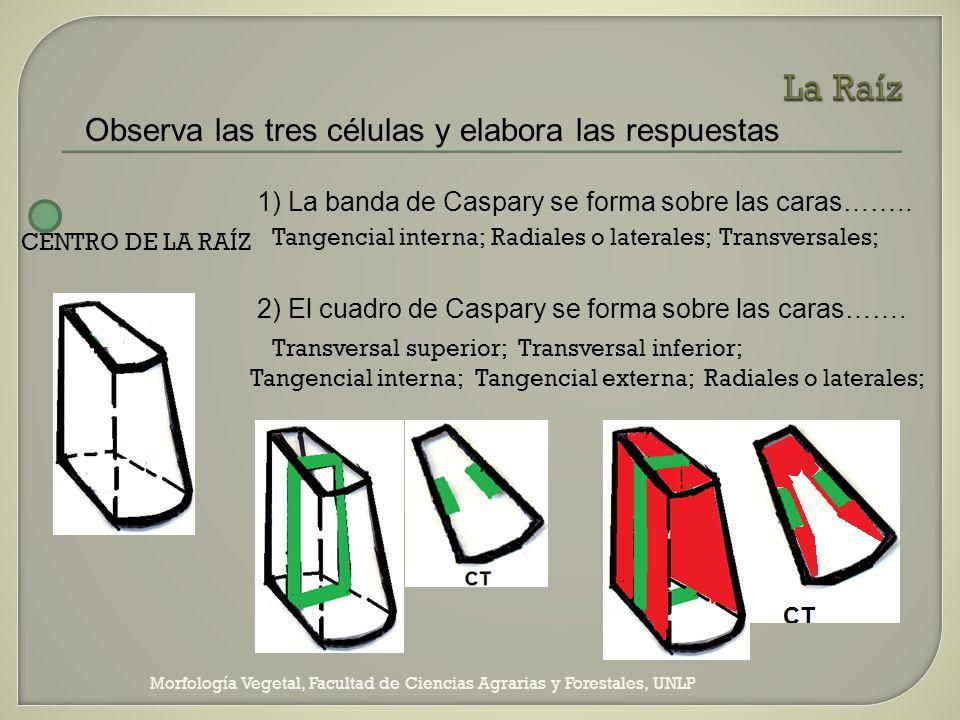 Morfología Vegetal, Facultad de Ciencias Agrarias y Forestales, UNLP Observa las tres células y elabora las respuestas 1) La banda de Caspary se forma