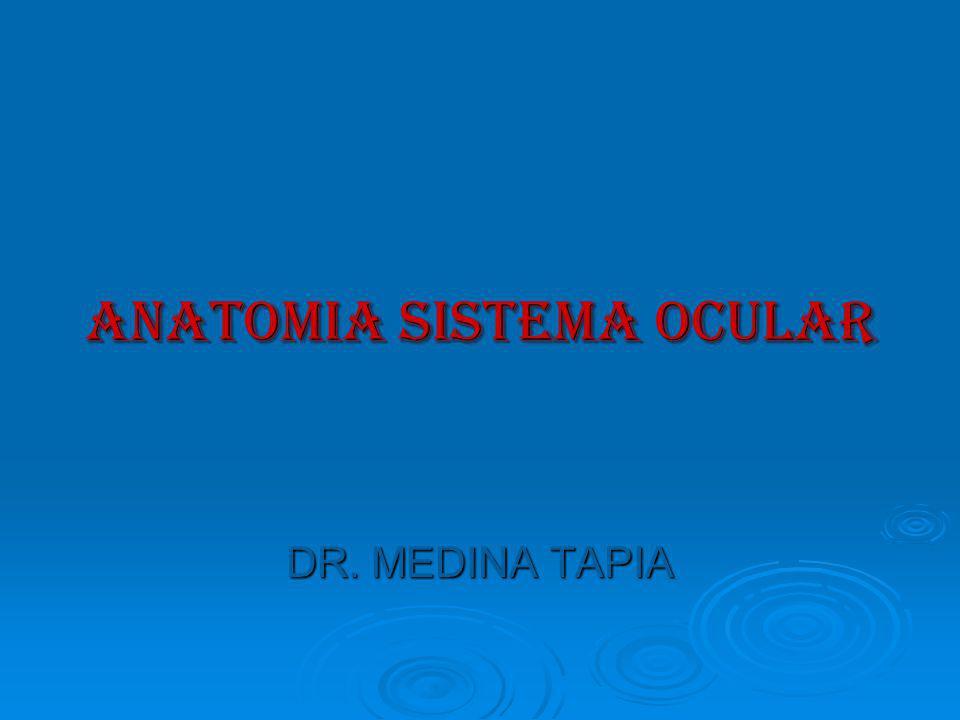 APARATO LAGRIMAL A) Porción secretora: 1) Glándula lagrimal principal.