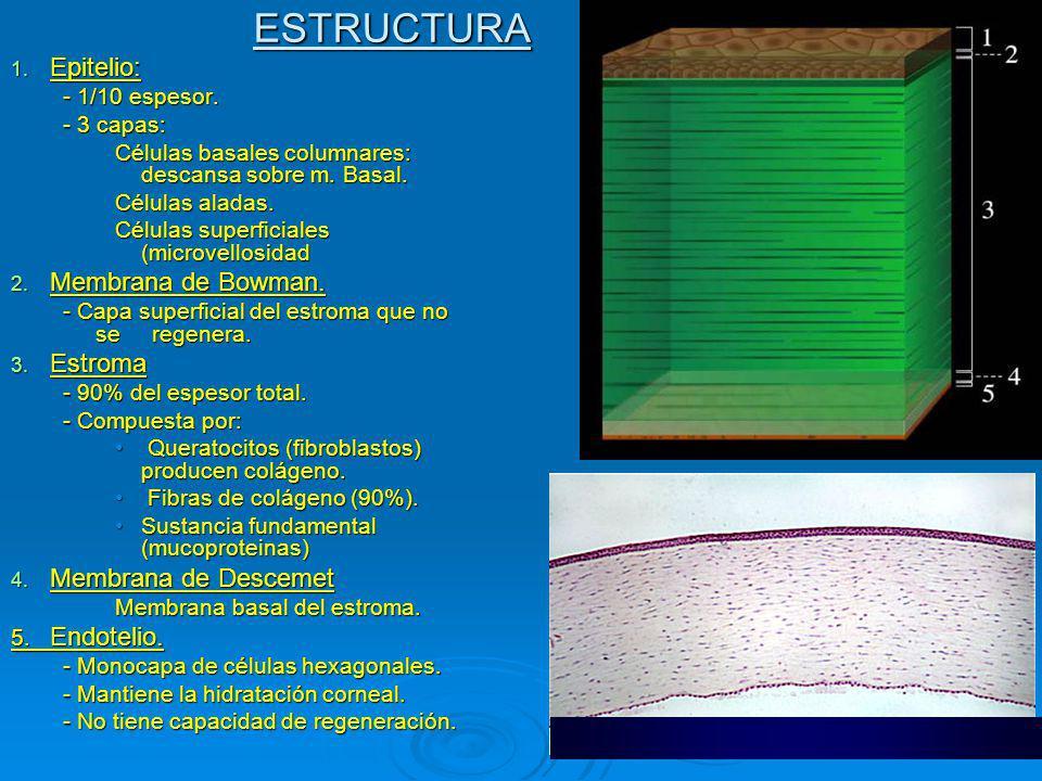 ESTRUCTURA 1.Epitelio: - 1/10 espesor. - 3 capas: Células basales columnares: descansa sobre m.