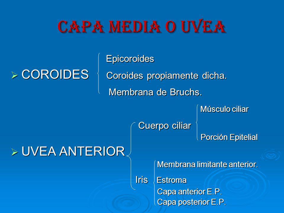 CAPA MEDIA O UVEA Epicoroides Epicoroides COROIDES Coroides propiamente dicha.