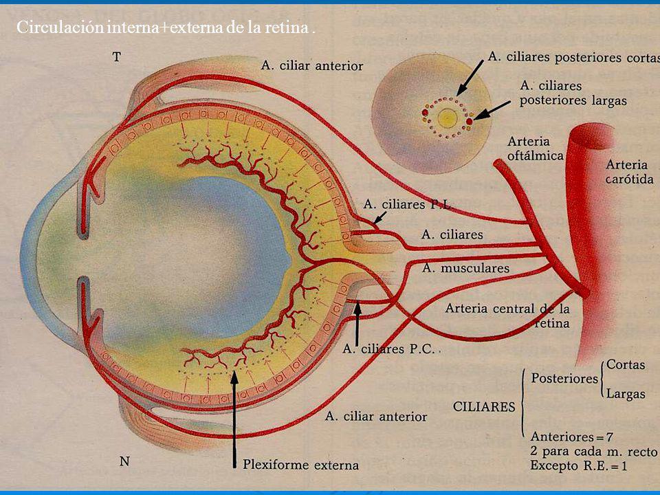 Circulación interna+externa de la retina.