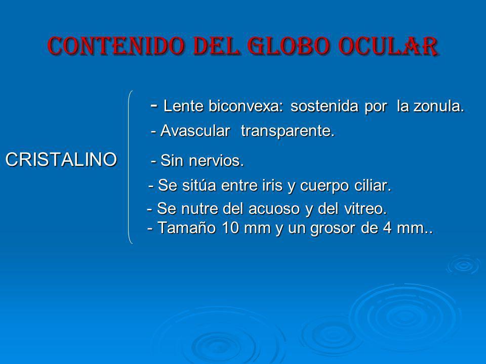 CONTENIDO DEL GLOBO OCULAR - Lente biconvexa: sostenida por la zonula.