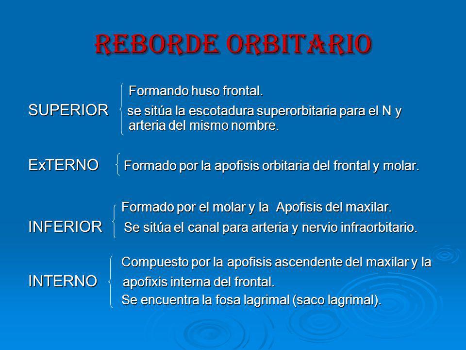 REBORDE ORBITARIO Formando huso frontal.Formando huso frontal.