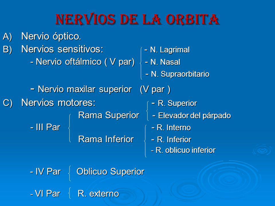 NERVIOS DE LA ORBITA A) Nervio óptico.B) Nervios sensitivos: - N.